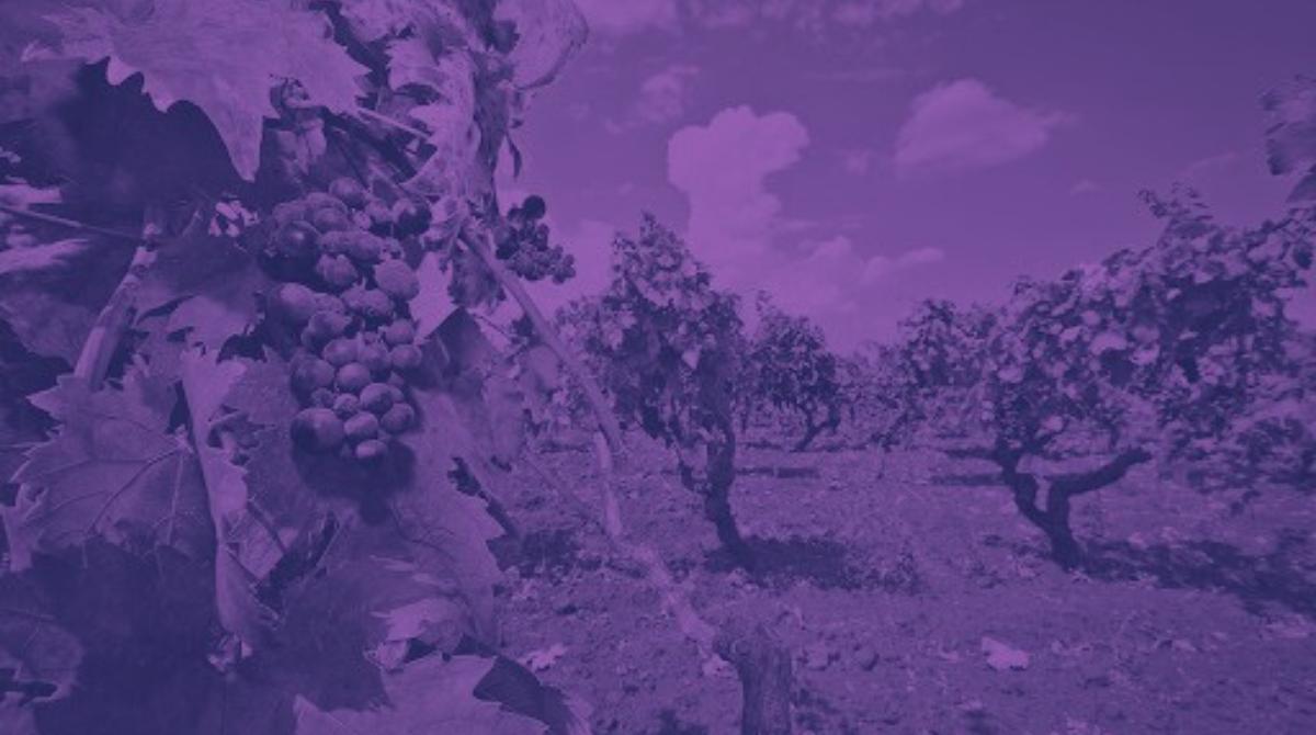 Negroamaro: storia di un vino